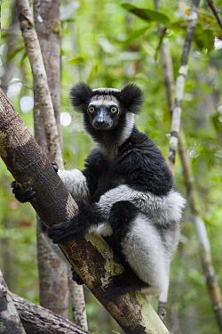 Indri (Indri indri) in tree, Madagascar  -  Suzi Eszterhas