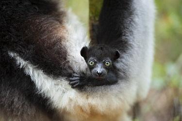 Indri (Indri indri) female and baby, Madagascar  -  Suzi Eszterhas
