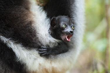 Indri (Indri indri) female and calling baby, Madagascar  -  Suzi Eszterhas