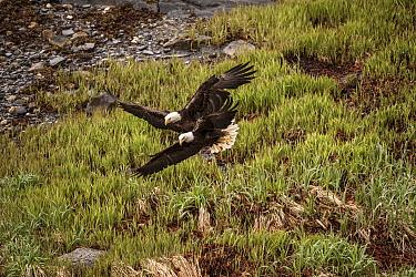 Bald Eagle (Haliaeetus leucocephalus) pair flying, Aucke Bay, Alaska  -  Flip  Nicklin