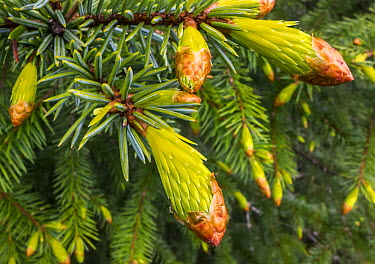 Conifer needles emerging, Alaska  -  Flip  Nicklin