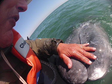 Gray Whale (Eschrichtius robustus) being touched by photographer Flip Nicklin, Magdalena Bay, Baja California, Mexico  -  Flip  Nicklin