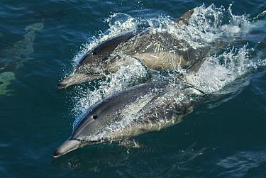Common Dolphin (Delphinus delphis) pair surfacing near Santa Barbara Channel, Channel Islands, California  -  Kevin Schafer