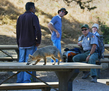 Island Fox (Urocyon littoralis) scavenging on picnic tables, Santa Cruz Island, Channel Islands, California  -  Kevin Schafer