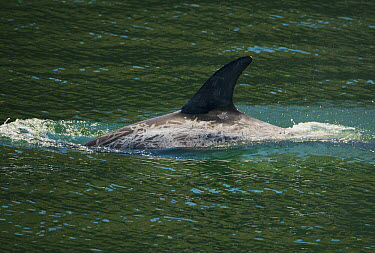 Risso's Dolphin (Grampus griseus) with scarred back, Channel Islands, California  -  Kevin Schafer