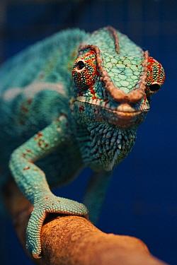 Panther Chameleon (Chamaeleo pardalis) portrait showing eyes pointing in different directions, native to Madagascar  -  Hiroya Minakuchi