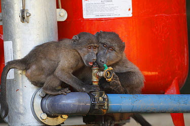 Chacma Baboon (Papio ursinus) juveniles trying to drink from pipe in vineyard, Cape Town, South Africa  -  Cyril Ruoso