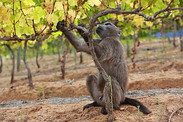 Chacma Baboon (Papio ursinus) in vineyard feeding on grapes, Cape Town, South Africa  -  Cyril Ruoso
