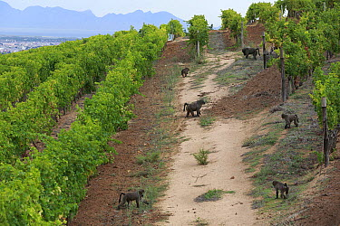 Chacma Baboon (Papio ursinus) troop foraging in vineyard, Cape Town, South Africa  -  Cyril Ruoso