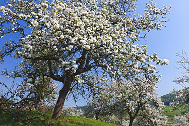Cultivated Apple (Malus domestica) trees flowering in spring, Germany  -  Duncan Usher