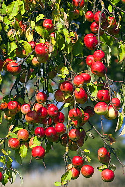 Cultivated Apple (Malus domestica) ripening fruit on tree, Germany  -  Duncan Usher