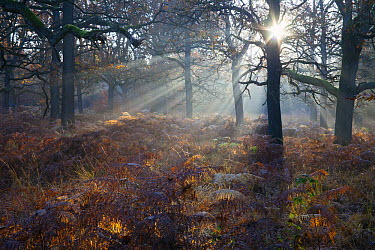 English Oak (Quercus robur) forest at sunrise in autumn, Hessen, Germany  -  Duncan Usher