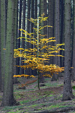 European Beech (Fagus sylvatica) tree in Norway Spruce (Picea abies) forest in autumn, Germany, sequence 2 of 2  -  Duncan Usher
