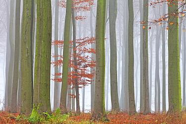 European Beech (Fagus sylvatica) forest in autumn, Germany  -  Duncan Usher