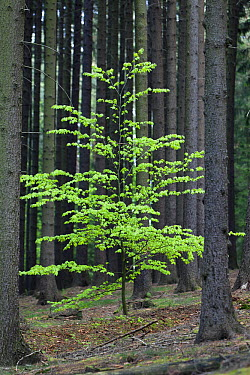 European Beech (Fagus sylvatica) tree in Fir (Abies sp) forest, Lower Saxony, Germany, sequence 1 of 2  -  Duncan Usher
