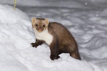 Beech Marten (Martes foina) in snow, Germany  -  Duncan Usher