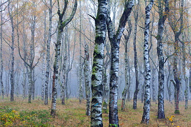 European White Birch (Betula pendula) forest in autumn mist, Germany  -  Duncan Usher