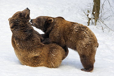 Brown Bear (Ursus arctos) male and female play-fighting in snow, Germany  -  Duncan Usher