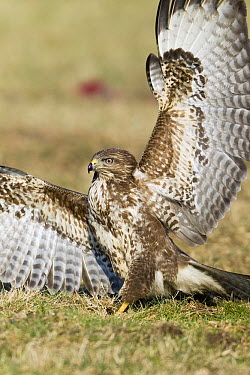 Common Buzzard (Buteo buteo) fending off other birds while feeding on carrion, Germany  -  Duncan Usher