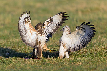 Common Buzzard (Buteo buteo) pair fighting over carrion, Germany  -  Duncan Usher