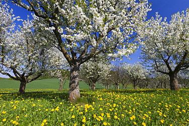 Sweet Cherry (Prunus avium) orchard in full bloom, Germany  -  Duncan Usher