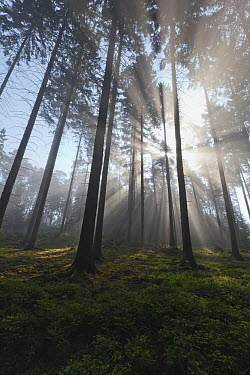 Norway Spruce (Picea abies) forest with mist in spring, Germany  -  Duncan Usher