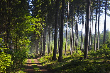 Norway Spruce (Picea abies) forest with path in spring, Germany  -  Duncan Usher