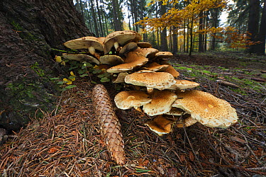 Honey Fungus (Armillaria mellea) mushrooms and pine cone at base of tree, Germany  -  Duncan Usher
