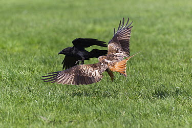 Red Kite (Milvus milvus) attacking Common Raven (Corvus corax) over food, Germany  -  Duncan Usher