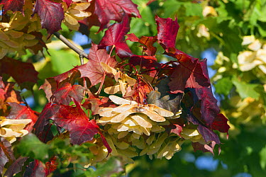Norway Maple (Acer platanoides) seeds in autumn, Germany  -  Duncan Usher