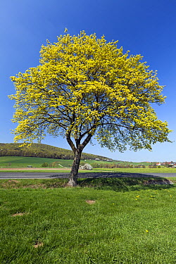 Norway Maple (Acer platanoides) flowering next to road, Germany  -  Duncan Usher
