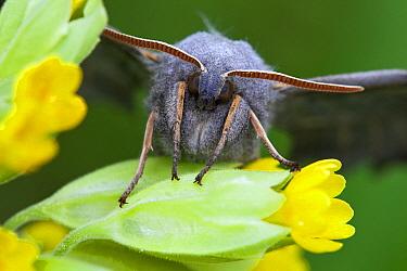 Poplar Hawk Moth (Laothoe populi) on flower, Germany  -  Duncan Usher