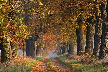 English Oak (Quercus robur) alley in autumn, Hessen, Germany  -  Duncan Usher