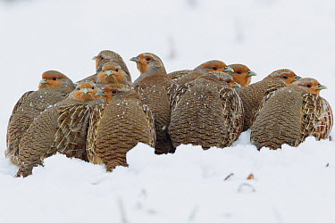 European Partridge (Perdix perdix) covey huddling together for warmth in snow, Germany  -  Duncan Usher