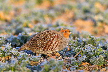 European Partridge (Perdix perdix) on frost covered ground, Germany  -  Duncan Usher