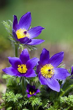 American Pasqueflower (Anemone patens) flowers, Germany  -  Duncan Usher