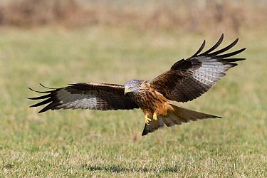 Red Kite (Milvus milvus) foraging for food in field, Germany  -  Duncan Usher