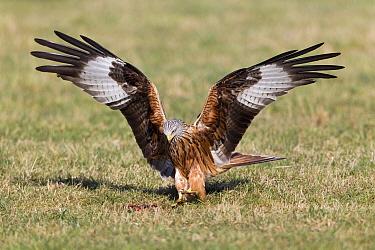 Red Kite (Milvus milvus) landing on field beside carrion, Germany  -  Duncan Usher