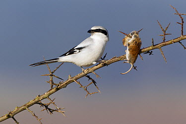 Great Grey Shrike (Lanius excubitor) with impaled mouse prey on thorn bush branch, Germany  -  Duncan Usher