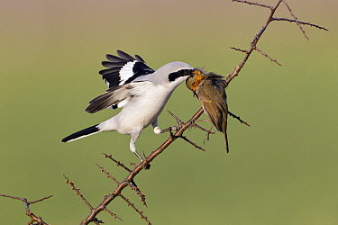 Great Grey Shrike (Lanius excubitor) feeding on impaled European Robin (Erithacus rubecula) prey on thorn bush branch, Germany  -  Duncan Usher