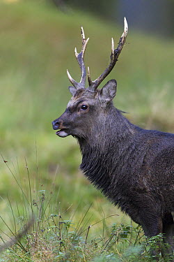Sika Deer (Cervus nippon) stag during rut in autumn, Denmark  -  Duncan Usher
