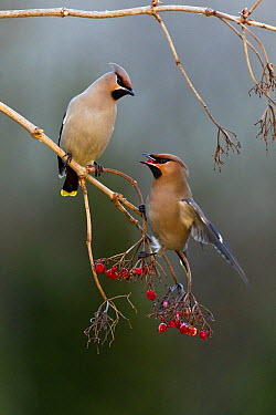 Bohemian Waxwing (Bombycilla garrulus) pair feeding on berries in winter, Germany  -  Duncan Usher