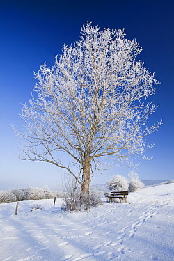 Gray Poplar (Populus canescens) covered in hoar frost, Germany  -  Duncan Usher