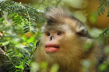 Yunnan Snub-nosed Monkey (Rhinopithecus bieti), Yunnan Province, China  -  Thomas Marent