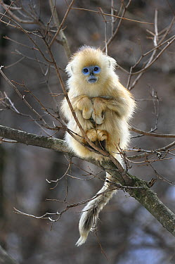 Golden Snub-nosed Monkey (Rhinopithecus roxellana) young, Qinling Mountains, Shaanxi, China  -  Thomas Marent