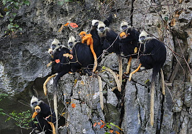 White-headed Black Leaf Langur (Trachypithecus poliocephalus leucocephalus) troop with females with young on limestone karst cliff, Guangxi, China  -  Thomas Marent