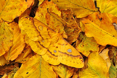 Saturniid Moth (Rhodinia fugax) female camouflaged on leaf litter, Qinling Mountains, Shaanxi, China  -  Thomas Marent
