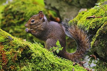 Red-bellied Squirrel (Callosciurus erythraeus) feeding, Qinling Mountains, Shaanxi, China  -  Thomas Marent