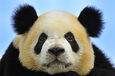 Giant Panda (Ailuropoda melanoleuca), Qinling Mountains, Shaanxi, China  -  Thomas Marent