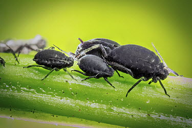 Black Bean Aphid (Aphis fabae) feeding on stem in garden, western Oregon  -  Michael Durham